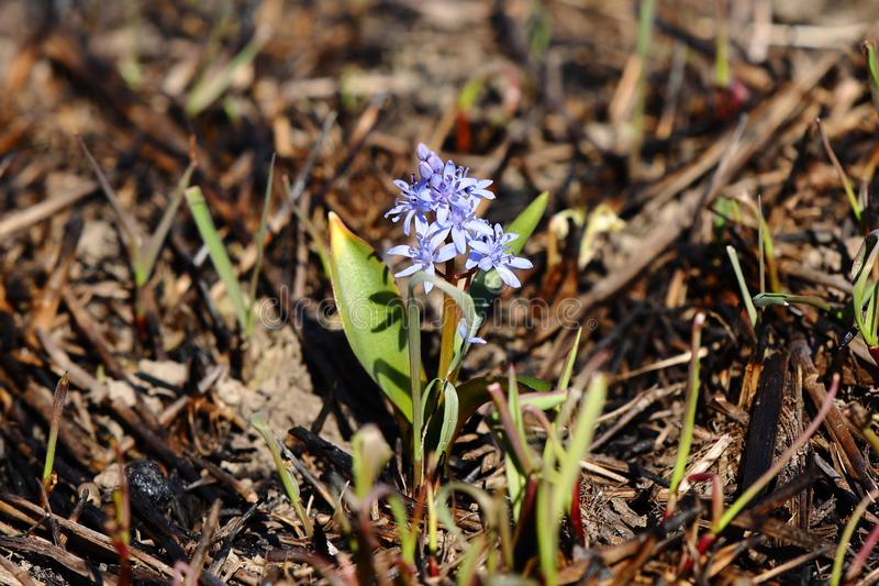 Spring flower blue coloring sprouted on burnt ground after pazhara near the discarded bottle. The consequences of fire for nature. New life is reborn in the stock images