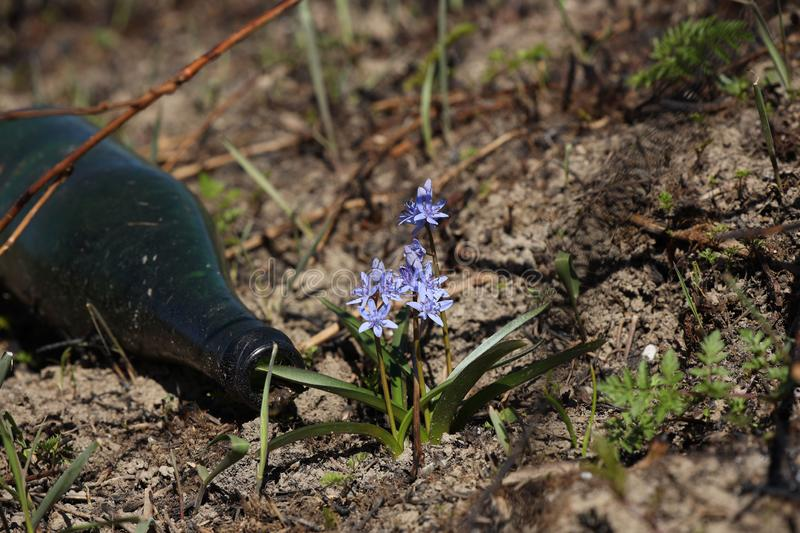 Spring flower blue coloring sprouted on burnt ground after pazhara near the discarded bottle. The consequences of fire for nature. New life is reborn in the royalty free stock images
