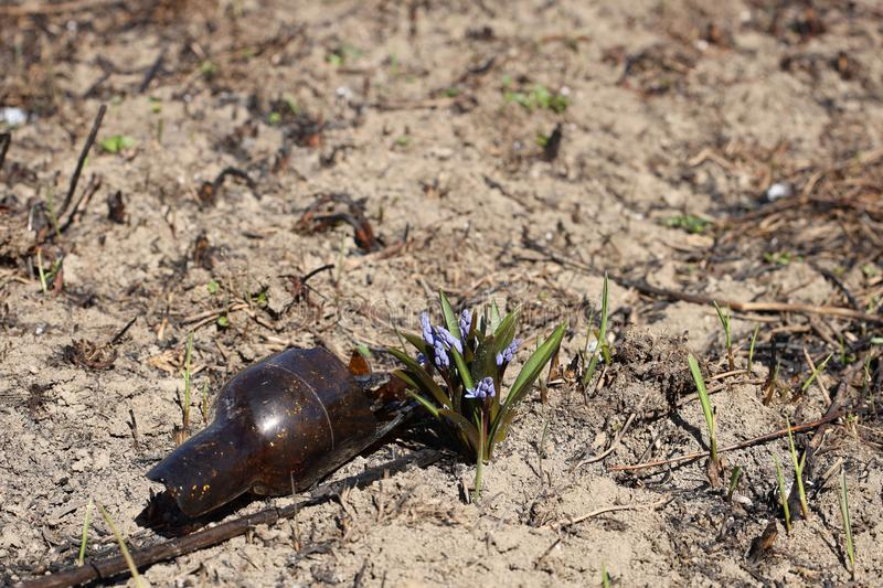 Spring flower blue coloring sprouted on burnt ground after pazhara near the discarded bottle. The consequences of fire for nature. New life is reborn in the stock photography