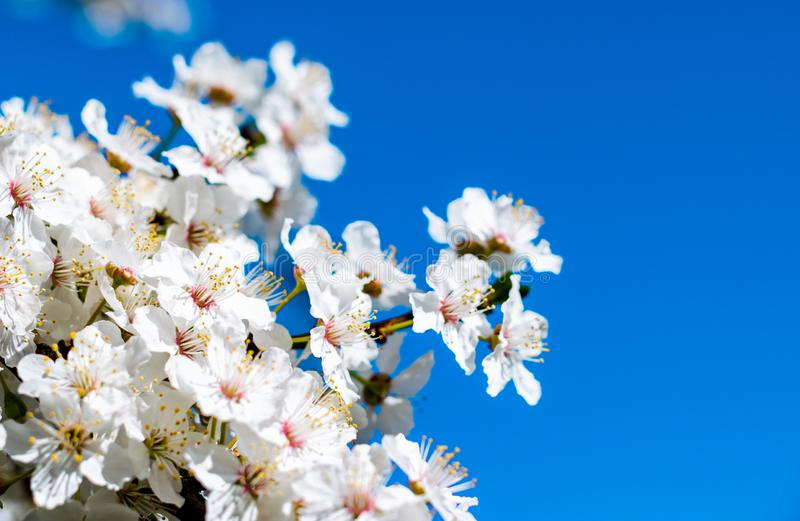 Spring flower, cherry blossoms stock images