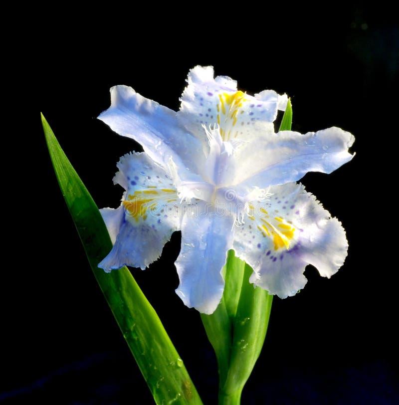 Spring Flower-de-luce Royalty Free Stock Photo