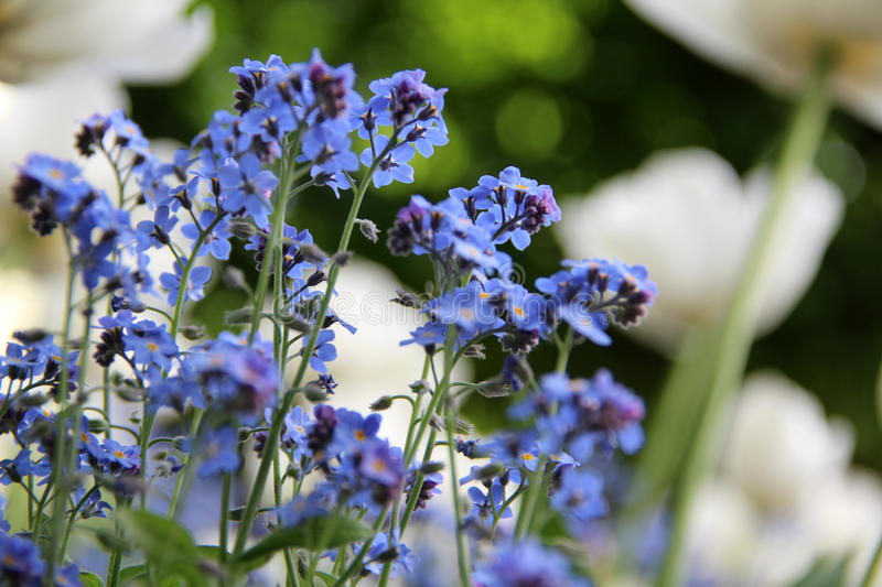 Spring flower, forget-me-not stock images