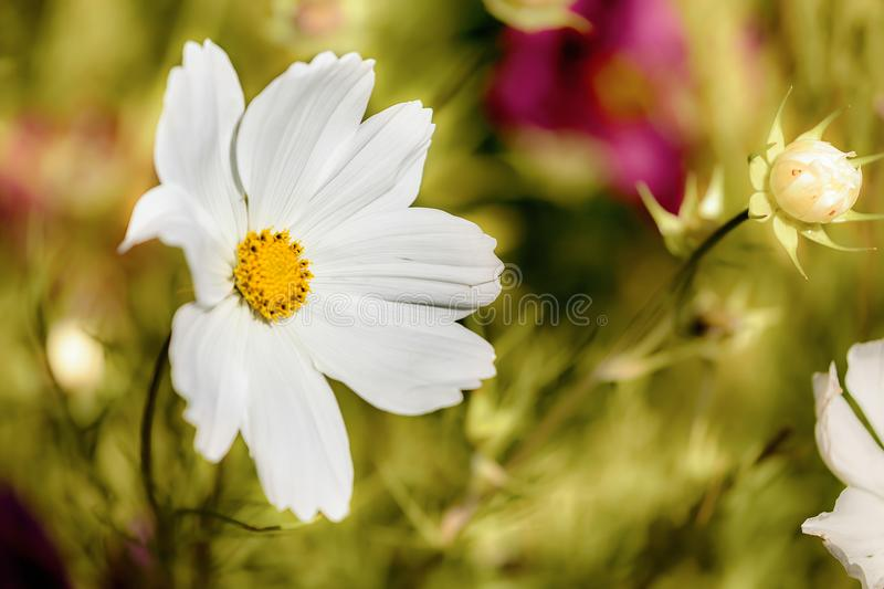Spring flower in garden close up royalty free stock image