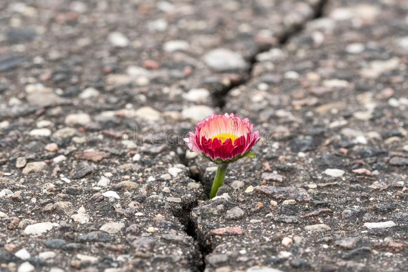 Flower growing on crack street royalty free stock photography