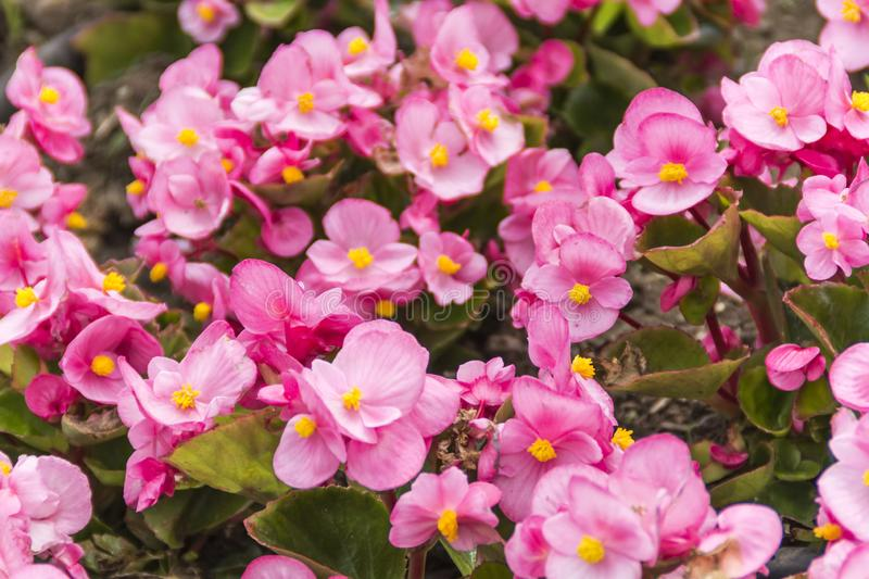 Spring flower in the Japan stock image