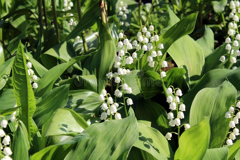 Spring flower lily of the valley white listed in the red book of Russia stock photos