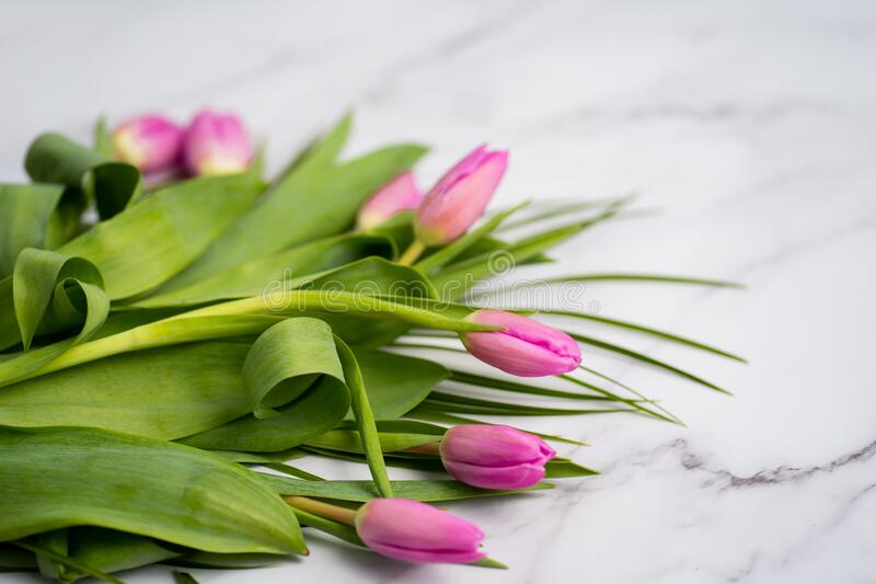 Spring flower pink tulips royalty free stock images