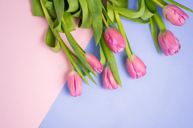 Spring flower pink tulips royalty free stock image