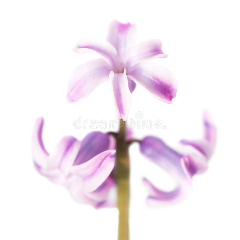 Spring flower purple hyacinth royalty free stock photo