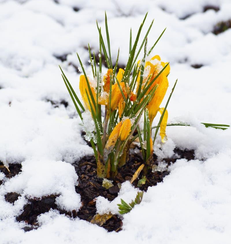 Free Spring Flower Snow Stock Photos - 18502573