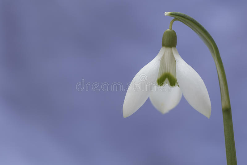 Spring flower snowdrop macro. Beautiful macro of first spring flower- snowdrop on blue background royalty free stock photos