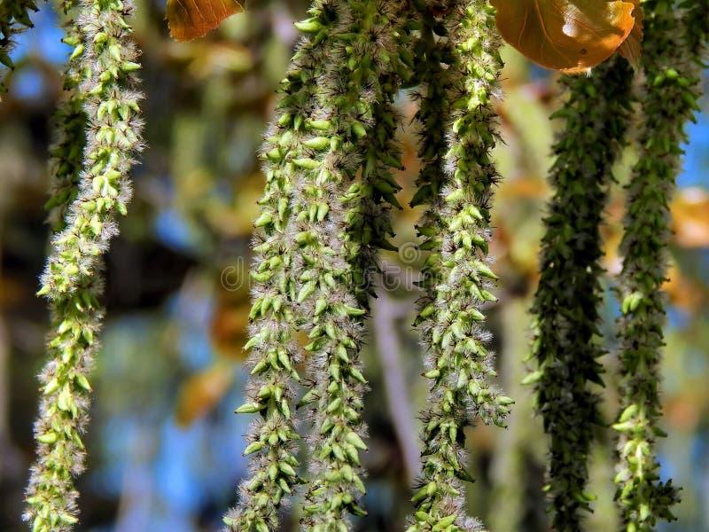 Spring flowering of alder tree. Close-up royalty free stock image