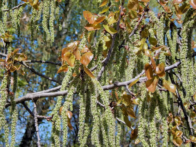 Spring flowering of alder tree. Close-up royalty free stock photos