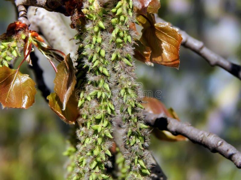 Spring flowering of alder tree. Close-up stock image