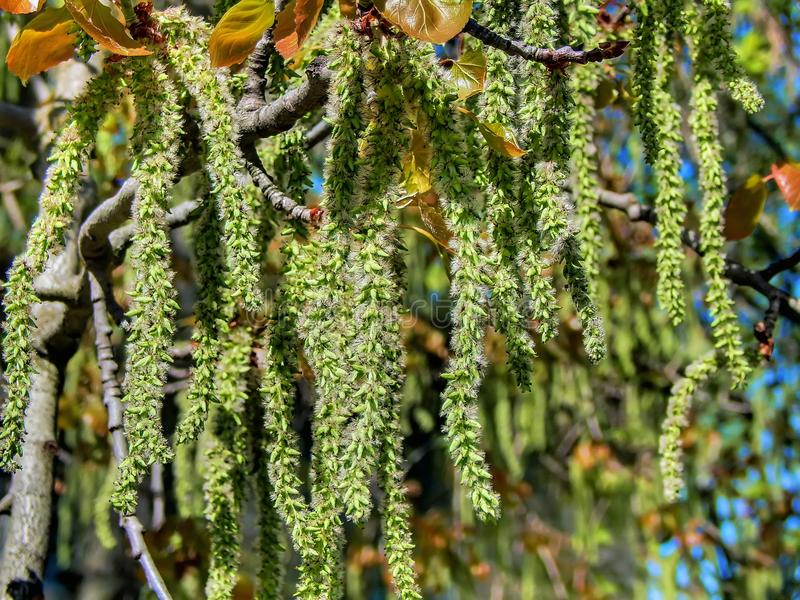 Spring flowering of alder tree. Closeup stock image