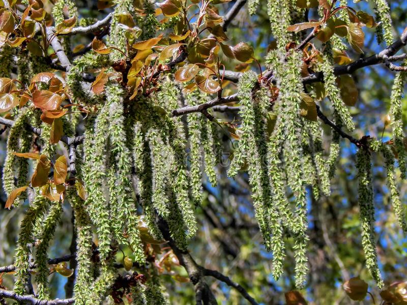 Spring flowering of alder tree. Closeup royalty free stock photos