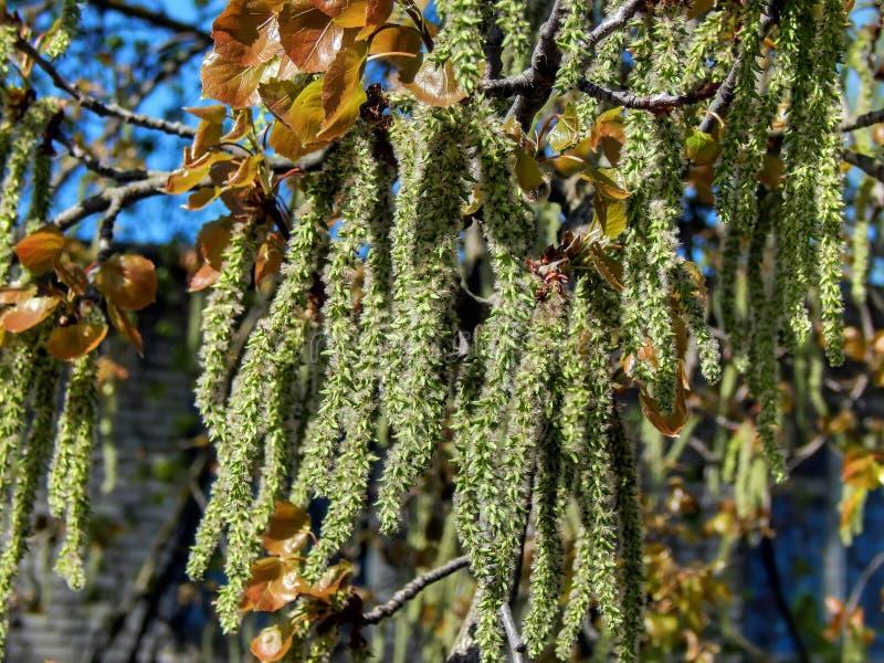 Spring flowering of alder tree. Closeup royalty free stock image