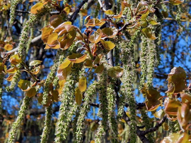 Spring flowering of alder tree. Closeup stock photography