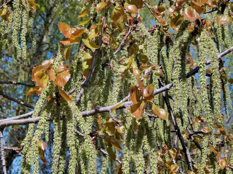 Spring flowering of alder tree. Closeup stock images