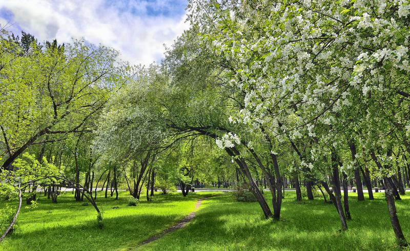 Spring flowering of apple and cherry in a city park on a bright royalty free stock photo