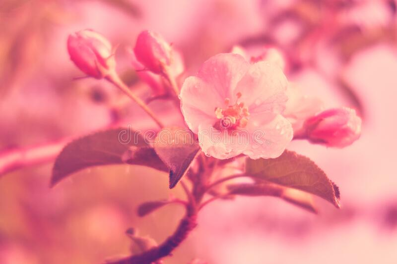 Spring flowering apple trees. blooming tree branches.  royalty free stock photo