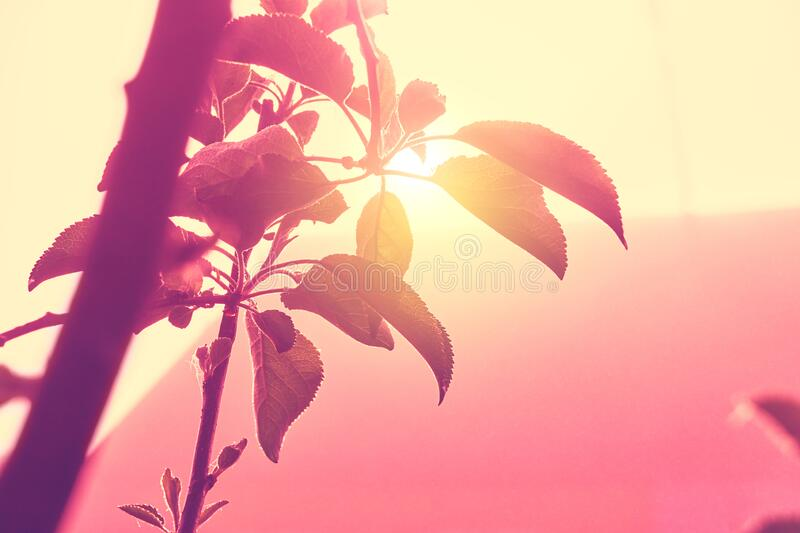 Spring flowering apple trees. blooming tree branches.  royalty free stock images