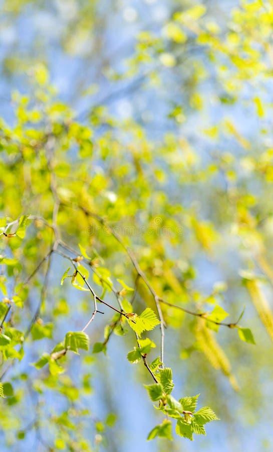 Spring flowering of birch. Spring allergy. Flowering allergy-causing plants stock photography