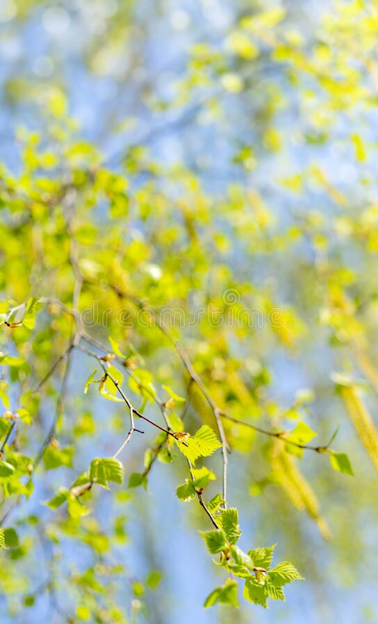 Spring flowering of birch. Spring allergy. Flowering allergy-causing plants royalty free stock photo