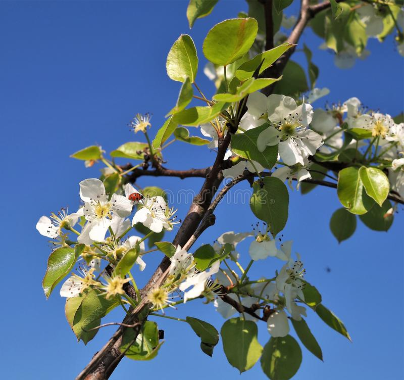 Flowers white apple tree branches with ladybug royalty free stock photo