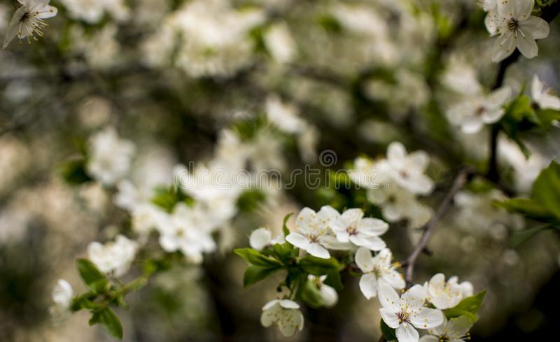 Spring flowering: branches of flowering apple or cherry in the park. White flowers of an apple tree or cherry on a royalty free stock photo