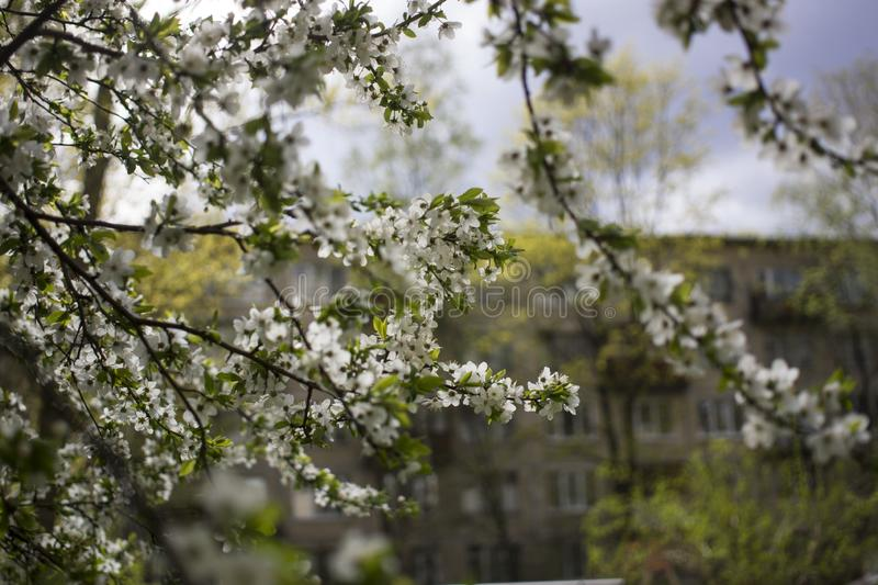 Spring flowering: branches of flowering apple or cherry in the park. White flowers of an apple tree or cherry on a background of royalty free stock image