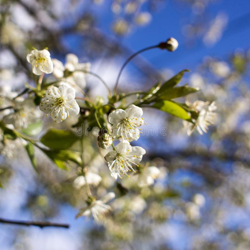 Spring flowering: branches of flowering apple or cherry in the park. White flowers of an apple tree or cherry on a royalty free stock photography
