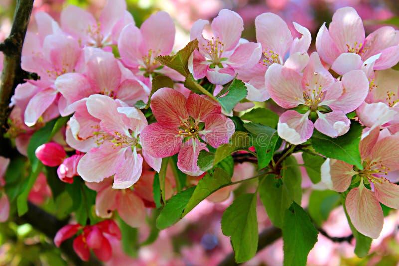 Download Spring Flowering stock image. Image of close, pink, flower - 83372605