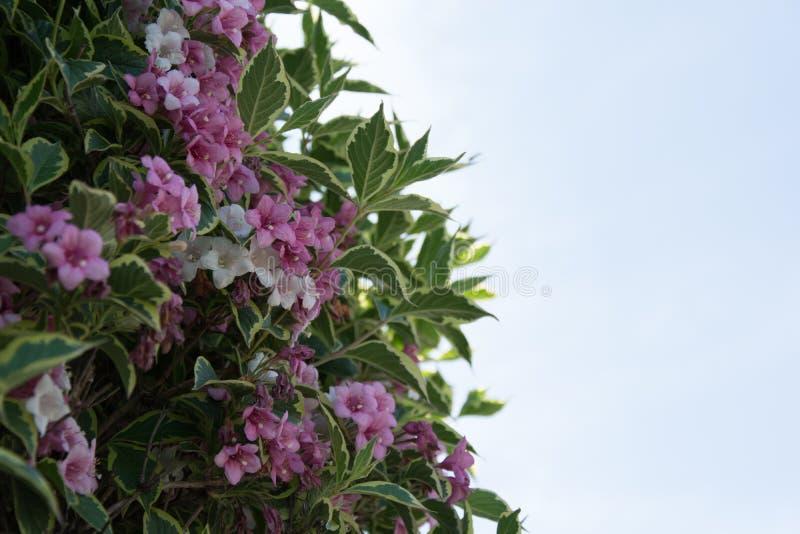 Spring flowering royalty free stock image