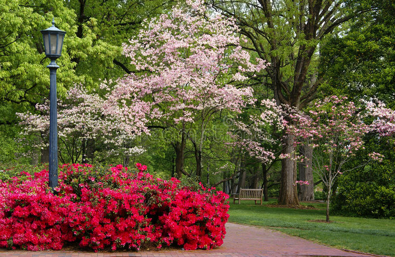 Spring flowering Dogwood and Azaleas royalty free stock images