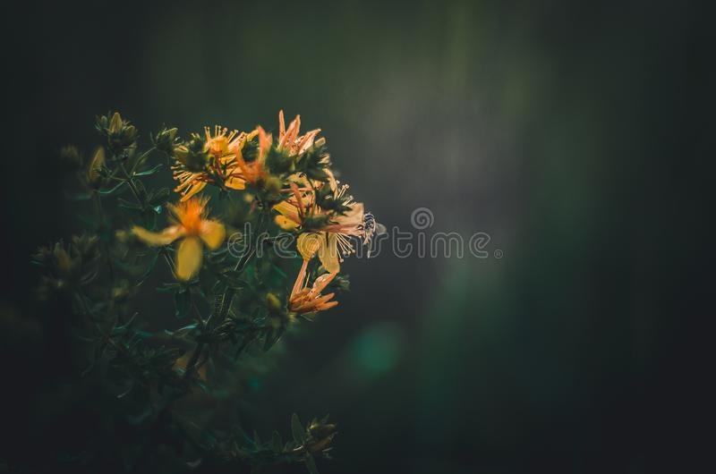 The drone flies on the yellow flowers of Hypericum. Green dark background. Lots of space for text. stock image