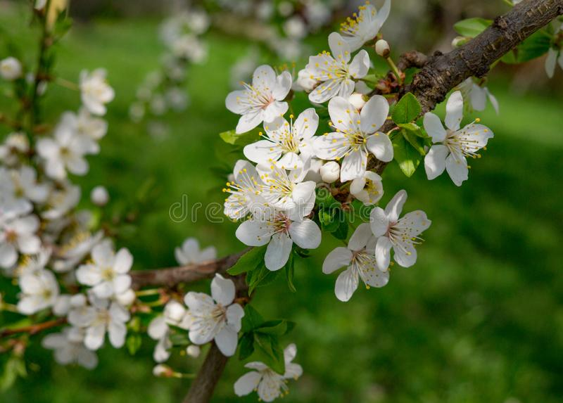 Spring flowering of fruit trees. White-pink cherry flowers on a branch of a blossoming cherry tree. Close-up stock photos