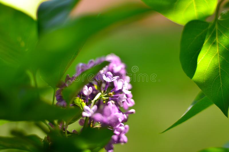 Spring flowering of lilac royalty free stock image