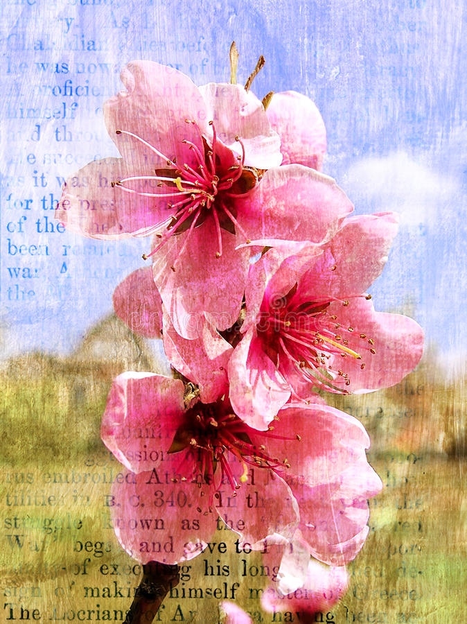 Free Spring Flowering Of A Peach Royalty Free Stock Photo - 13851635