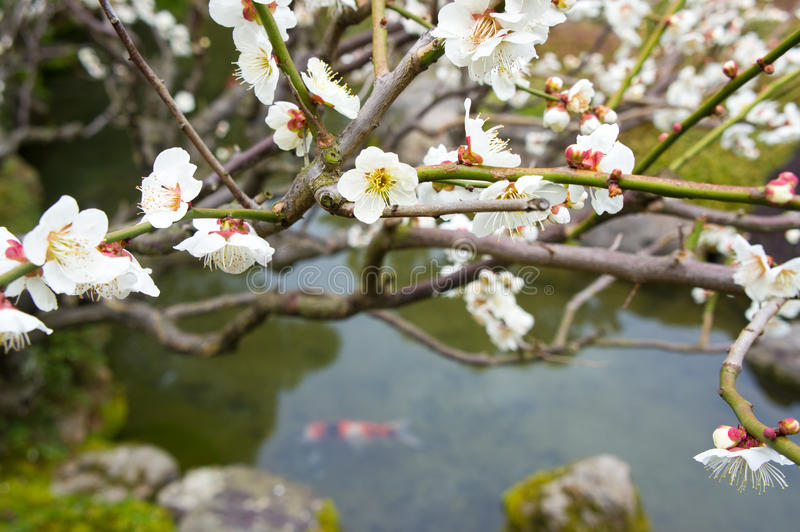 Spring flowering peach tree royalty free stock photography
