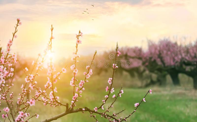 Spring flowering of peach tree. Delicate pink flowers on a branch in the garden. Selective soft focus. stock photography