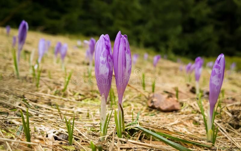 Spring flowering - purple crocus twins in the forest. royalty free stock image