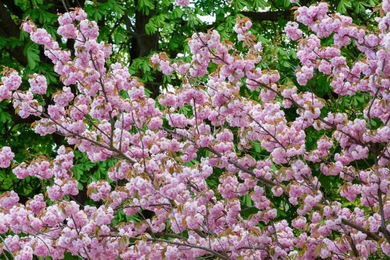 Download Spring flowering sakura stock image. Image of blooming - 92632815