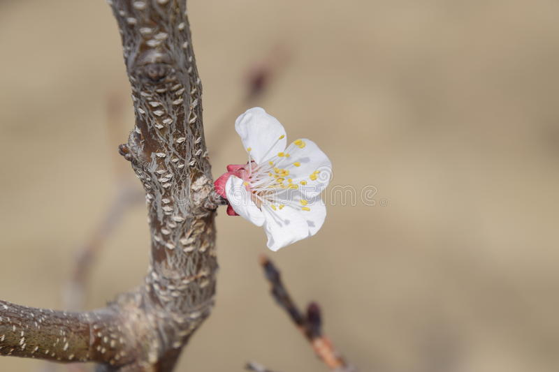 Spring flowering trees. Pollination of flowers of apricot. Blooming wild apricot in the garden stock images