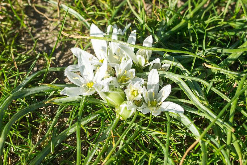 Spring flowering of white Ornithogalum umbellatum star of Bethlehem, grass lily, nap at noon, eleven o clock lady. White flowers royalty free stock image