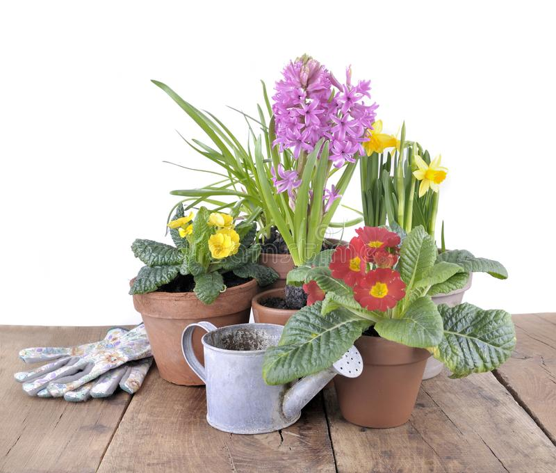 Spring potted flowers on table stock photo image of primrose download spring potted flowers on table stock photo image of primrose background 112256522 mightylinksfo