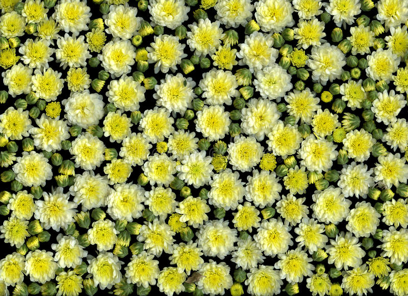 Spring flowers. Mass of blooming yellow spring flowers royalty free stock image