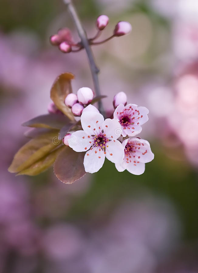 Free Spring Flowers Royalty Free Stock Images - 13198279