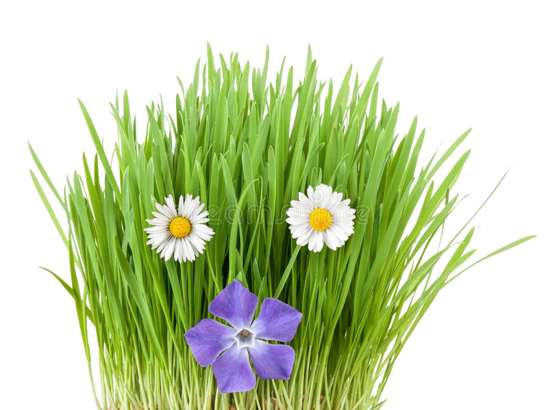 Download Spring flowers stock photo. Image of white, wheat, periwinkle - 13646616