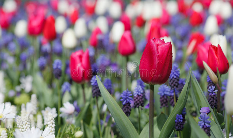 Spring flowers. In Amsterdam, the Netherlands royalty free stock photos